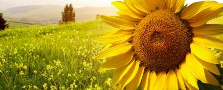 landschap met zonnebloemen in Toscane, Italië