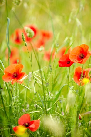 Field of Corn Poppy Flowers Papaver rhoeas in Spring  photo