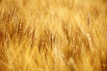 Agriculture golen background in Tuscany photo