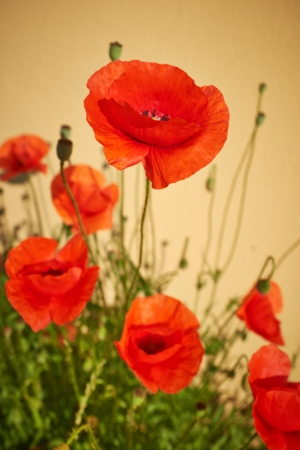Field of  Poppy Flowers Papaver rhoeas in Spring photo