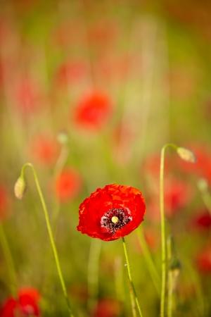Spring Field of  Poppy Flowers photo