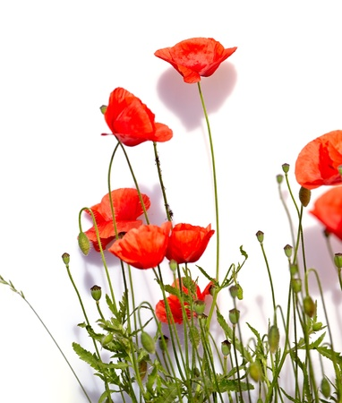 Isolated red poppies  photo