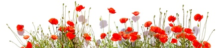 Extra large horizontal frame of poppies isolated on white background.  photo