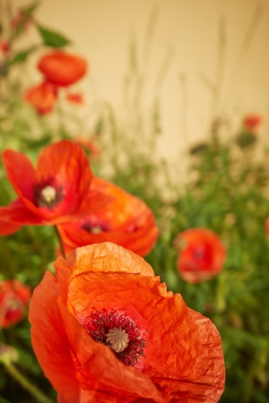 Spring Field of  Poppy Flowers photo