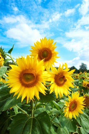 Yellow sunflowers and blue sky  photo