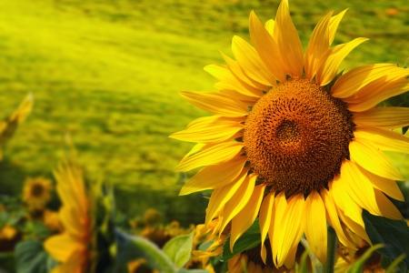 Toscane zonnebloemen Stockfoto