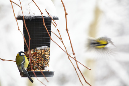 bird feeder: Bluetit sitting on a birdfeeder with peanuts