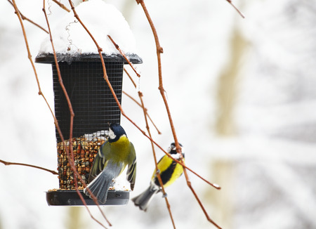 Bluetit sitting on a birdfeeder with peanuts  photo