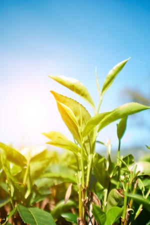 cameron: Green leaves of tea in Sri Lanka closeup
