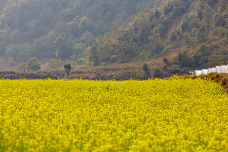 mustard field: Mustard field in Kashmir, India