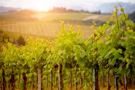 portugal agriculture: Green vineyard field at Italy.