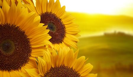 chianti: Tuscany sunflowers