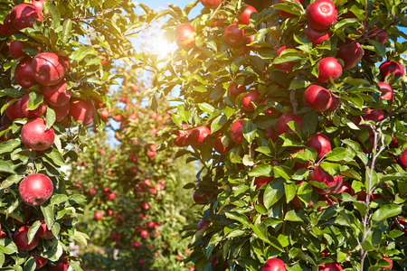 apple orchard: apples in the orchard Stock Photo