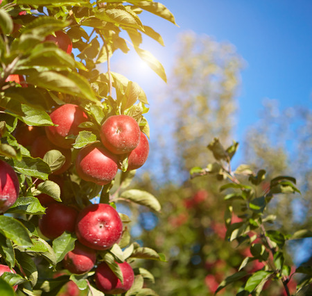 apples in the orchard photo