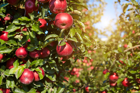 apple orchard: red apples on the trees in the orchard