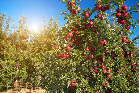 arbol de problemas: manzanas rojas en los árboles del huerto