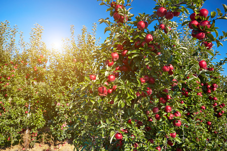 APPLE trees: red apples on the trees in the orchard