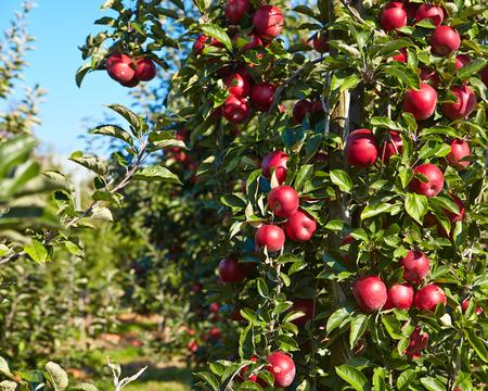 arbol de problemas: manzanas rojas en los árboles en el huerto