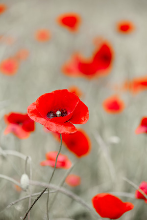 day of the dead: Wild red poppy Stock Photo