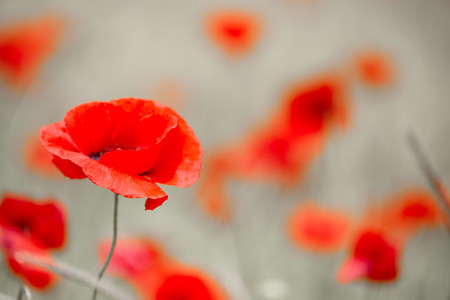 remembrance day: Wild red poppy Stock Photo