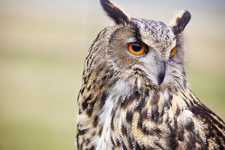 Eagle Owl/An eagle owl Stock Photo - 38101346