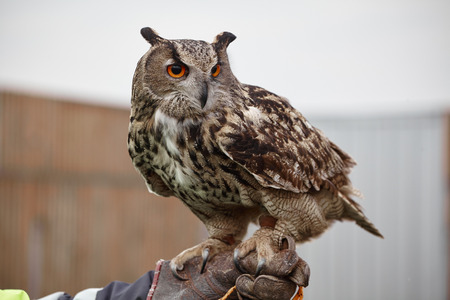 night owl: Eagle OwlAn eagle owl