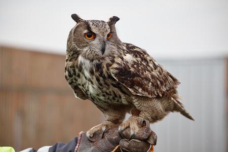 prowling: Eagle OwlAn eagle owl