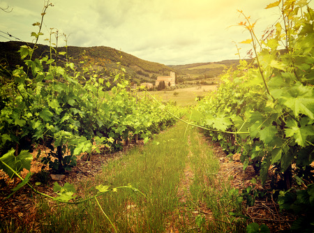 farm field: Sunset in a vineyard in Italy