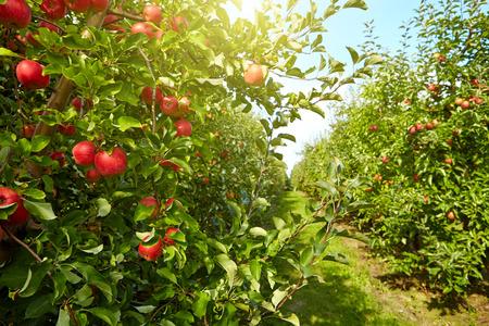 arboles frutales: manzanas rojas en los árboles en el huerto