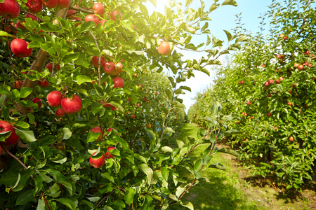 red apples on the trees in the orchard Stok Fotoğraf - 45242344