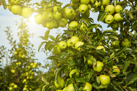 row: Green apples in the orchard