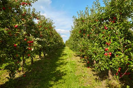 hilera: manzanas rojas en los árboles en el huerto
