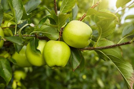 albero da frutto: Mele verdi nel frutteto Archivio Fotografico