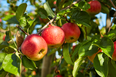harvest: red apples on the trees in the orchard