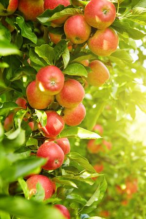 manzanas: Manzanas rojas en la rama de árbol de manzana