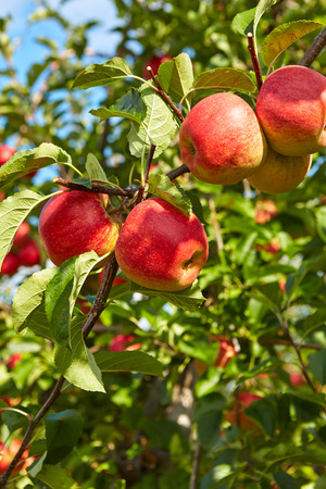 decision tree: Red apples on apple tree branch