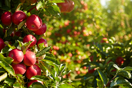 manzana roja: Apple Orchard