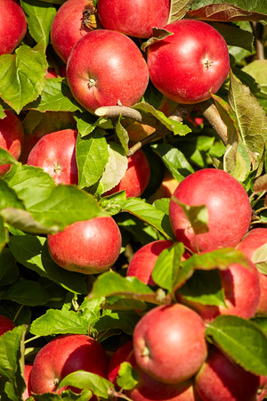 agro: red apples on the trees in the orchard
