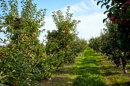 red apples: apple tree in an orchard