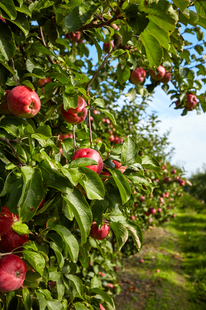apple orchard: apple tree in an orchard