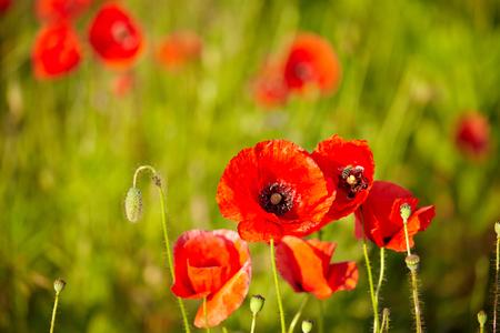 flower fields: Field of  Poppy Flowers Papaver rhoeas in Spring
