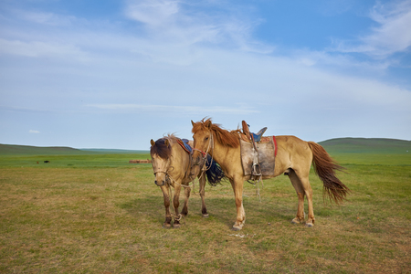 horseflesh: Pair of horses on a summer pasture in Mongolia Stock Photo