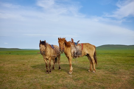 mongolia horse: Pair of horses on a summer pasture in Mongolia Stock Photo
