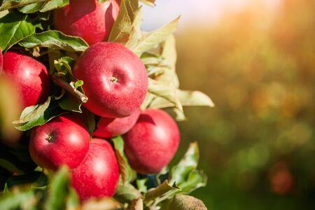 Bild von reifen Äpfeln im Obstgarten, bereit für die Ernte, Morgenaufnahme