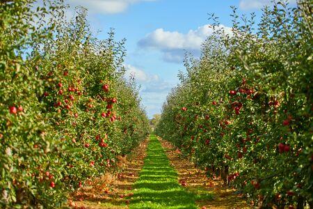 Bild von reifen Äpfeln im Obstgarten, bereit für die Ernte, Morgenaufnahme Standard-Bild