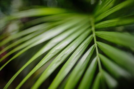 Green leaves of Monstera plant growing in wild, the tropical forest plant,