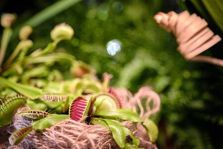 Dionaea Muscipula and Delicious Grasshopper