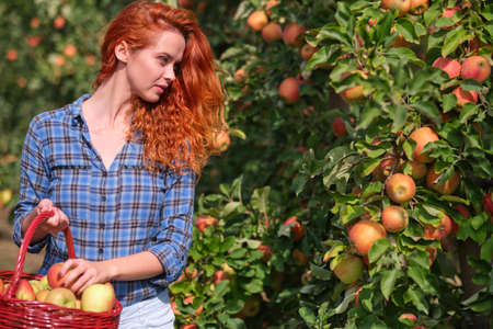 A young woman with a basket collects apples in the orchard Stock Photo