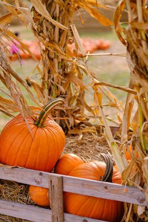 orange pumpkins at outdoor farmer market. pumpkin background. Copy space for your text