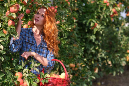 Young red haired woman picking ripe organic apples in wooden crate in orchard or on farm on a fall day